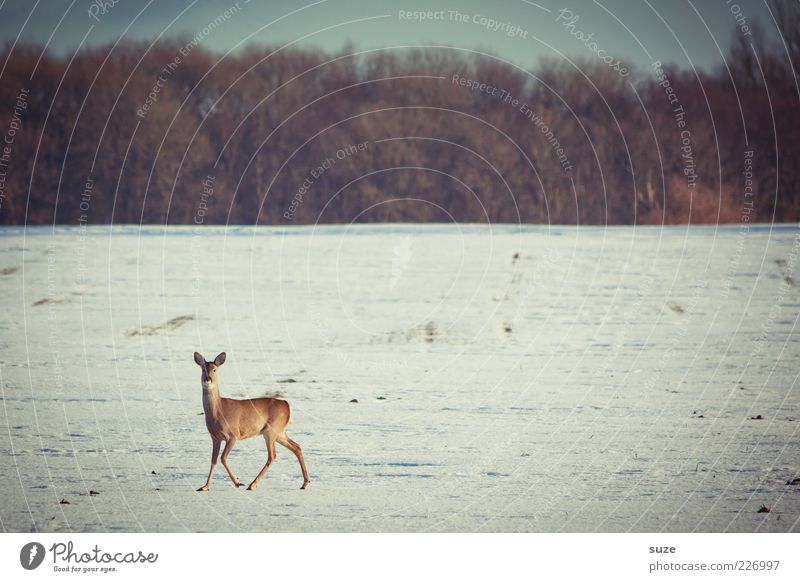 reh Winter Snow Environment Nature Landscape Sky Horizon Forest Animal Wild animal 1 Walking Authentic Roe deer Observe Curiosity Snow layer Field