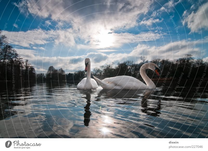Ledas Swans Environment Nature Air Water Sky Clouds Sun Sunlight Weather Beautiful weather Park Lakeside Animal Bird 2 Observe Looking Esthetic Elegant Blue