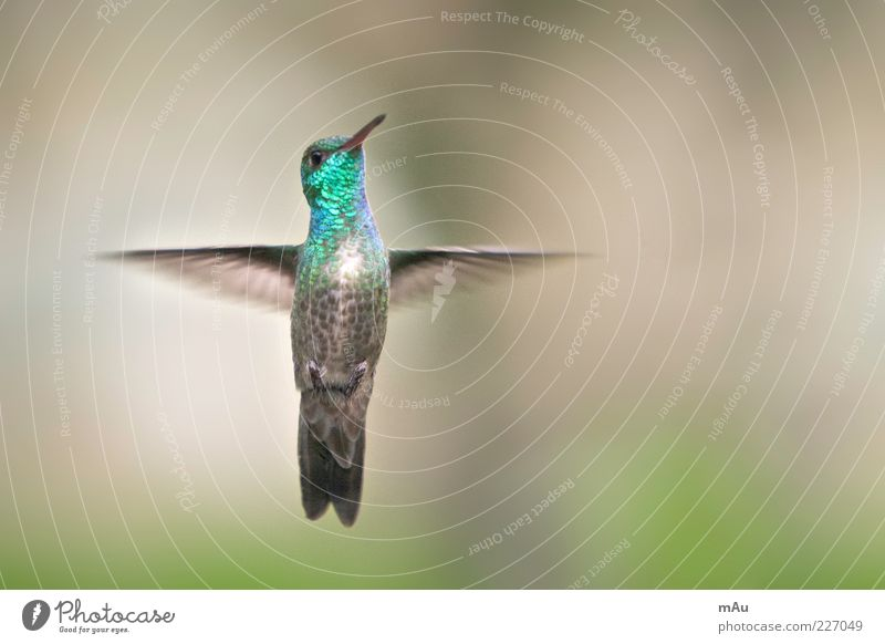 Beija Flor Nature Animal Bird 1 Flying Glittering Green Hummingbirds Colour photo Exterior shot Close-up Day Blur Shallow depth of field Animal portrait Looking