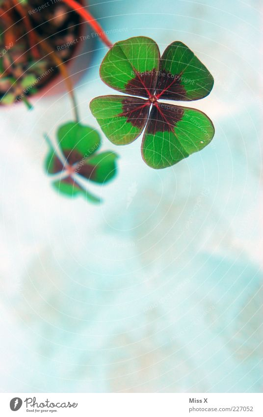 Lucky Clover III Plant Leaf Pot plant Happy Good luck charm Symbols and metaphors Cloverleaf Four-leaved Four-leafed clover Colour photo Multicoloured Close-up