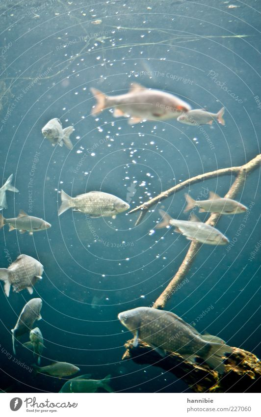 Fridays Fish Environment Nature Animal Pond Lake Brook River Wild animal Aquarium Flock Blue Gray Air bubble Cold Water Wet Colour photo Underwater photo