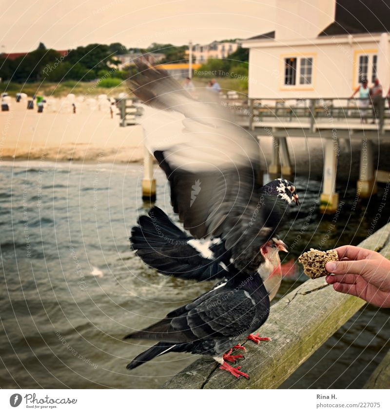 Nature Hand Summer Beach Animal Relaxation Wood Flying Handrail Appetite Footbridge Baltic Sea Pigeon To feed Aggression Feeding