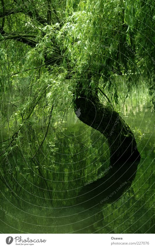 S Tree Water Lake Pond Tree trunk Branch Treetop Leaf Reflection Surface of water Green Portrait format Weeping willow Plant Copy Space bottom Water reflection