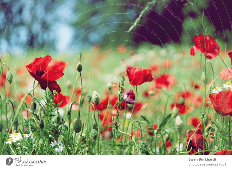 Nature Green Plant Red Summer Flower Leaf Calm Colour Meadow Environment Grass Blossom Natural Growth Blossoming