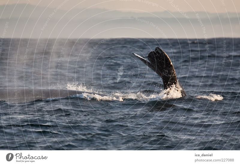 Submerged Vacation & Travel Tourism Trip Adventure Freedom Ocean Nature Water Pacific Ocean Animal Wild animal Whale 1 Exceptional Beautiful Peaceful Esthetic