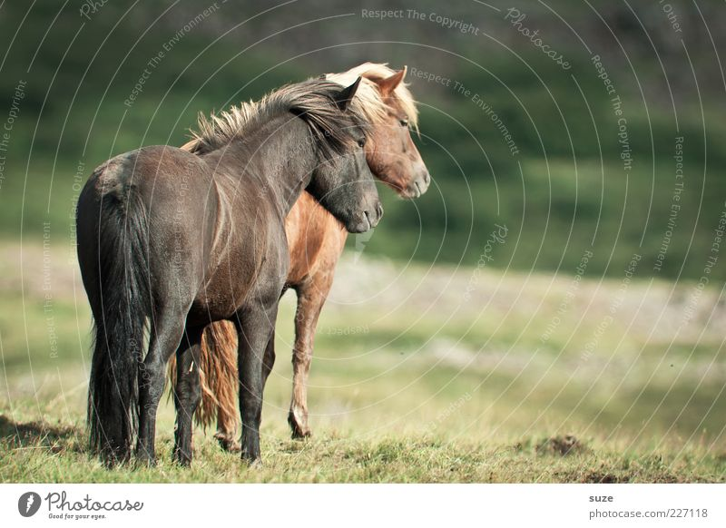 Animal Calm Meadow Brown Natural Pair of animals Romance Horse Friendliness Iceland Grassland Pony Farm animal Love of animals Side by side Iceland Pony