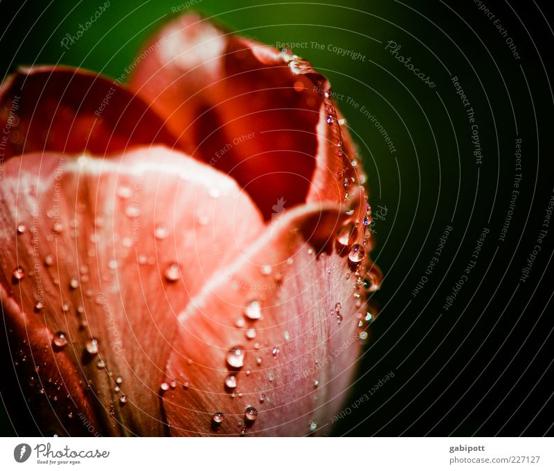 dew drops on tulip leaf Nature Drops of water Spring Plant Flower Tulip Blossom Esthetic Fragrance Kitsch Green Red Spring fever Romance Dew Multicoloured