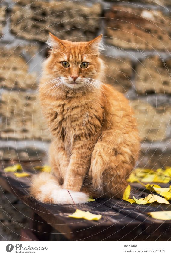 portrait of a big red cat Nature Animal Pet Cat 1 Looking Cute Yellow Purebred Breed pretty furry Mammal Kitten Delightful background Domestic fluffy hair one