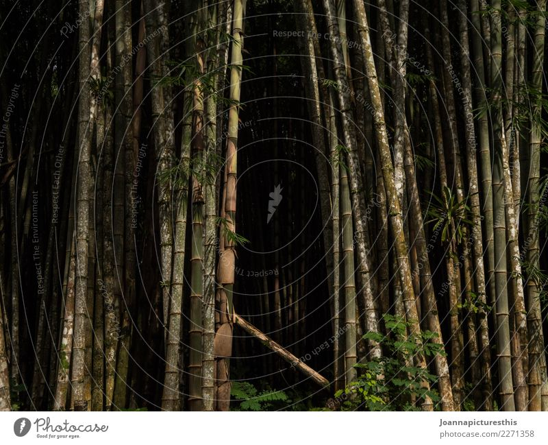 Bamboo cave Exotic Expedition Agriculture Forestry Environment Nature Plant Tree Foliage plant Agricultural crop Wild plant Bamboo stick bamboo forest Wood