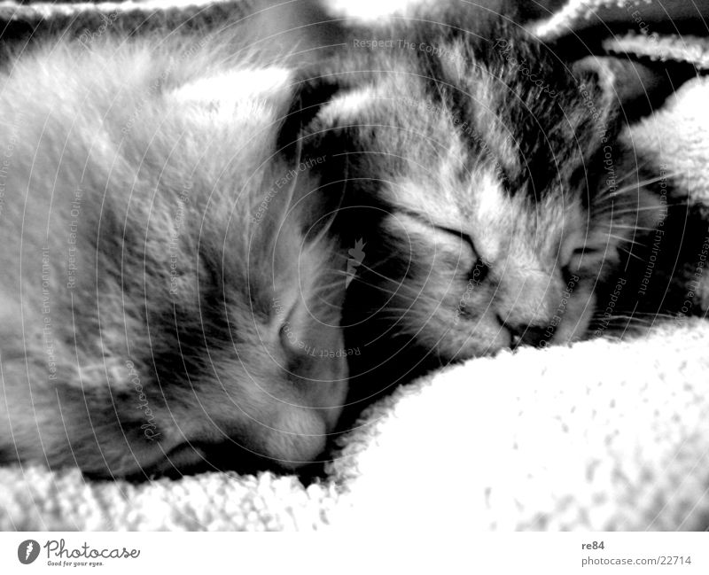 White Black Eyes Animal Playing Gray Hair and hairstyles Dream Cat Sleep Sweet Retro Ear Pelt Fatigue Boredom