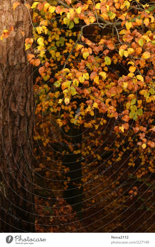 Nature Leaf Forest Yellow Autumn Weather Brown Gold Climate Tree bark October Autumnal Deciduous tree September Beech tree Tree