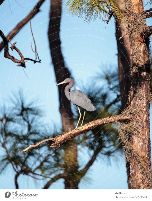 Little blue heron bird Egretta caerulea Man Blue Summer Tree Animal Forest Adults Gray Brown Bird Wild animal Marsh Heron Florida Wetlands