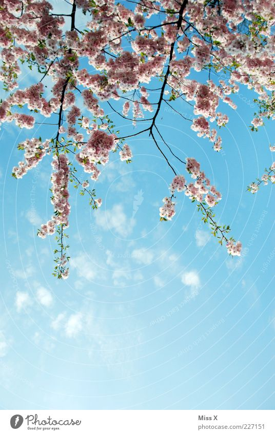 Nature Plant Spring Blossom Pink Growth Blossoming Beautiful weather Fragrance Bud Twigs and branches Cherry blossom Cherry tree Spring day