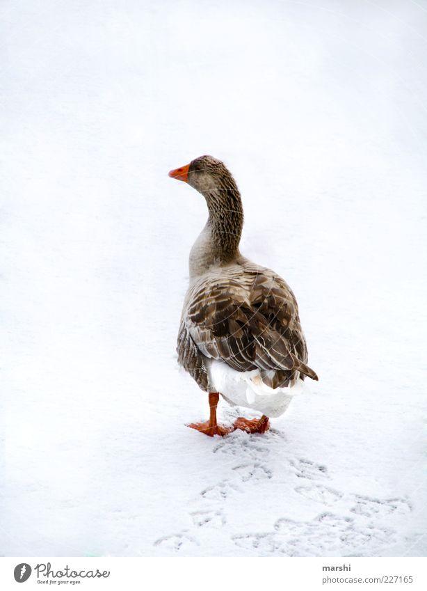 A whole goose Nature Animal Farm animal 1 White Goose Winter Tracks Animal tracks Waddle Seasons Cold Colour photo Exterior shot Feather Rear view Snow