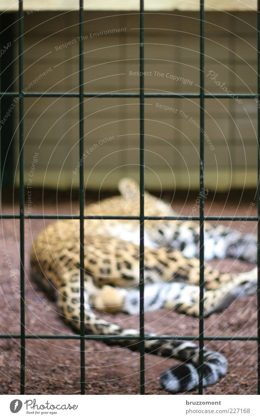 paradise lost Animal Enclosure Fence Wild animal Cat Pelt Zoo Panther Leopard print 1 Sleep Sadness Emotions Fatigue Loneliness Calm Land-based carnivore