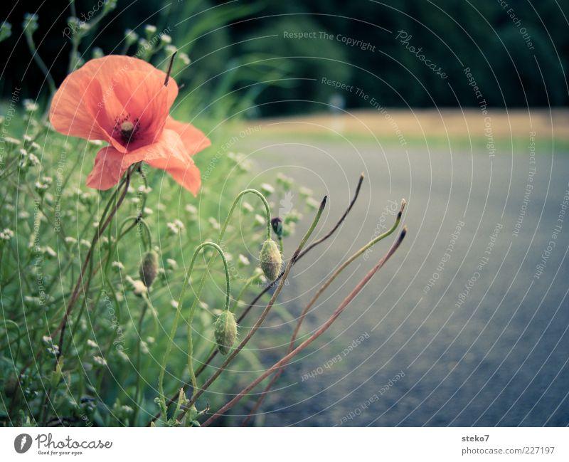 Green Plant Red Summer Street Grass Gray Blossom Lanes & trails Field Asphalt Stalk Border Tar Roadside Country road