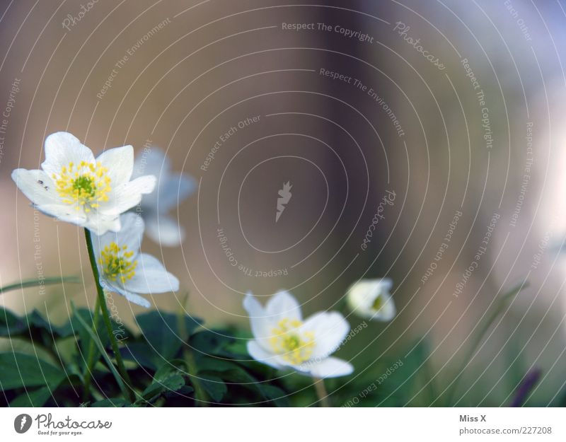 Nature White Plant Flower Leaf Blossom Spring Growth Blossoming Stalk Fragrance Blossom leave Spring flowering plant Wood anemone