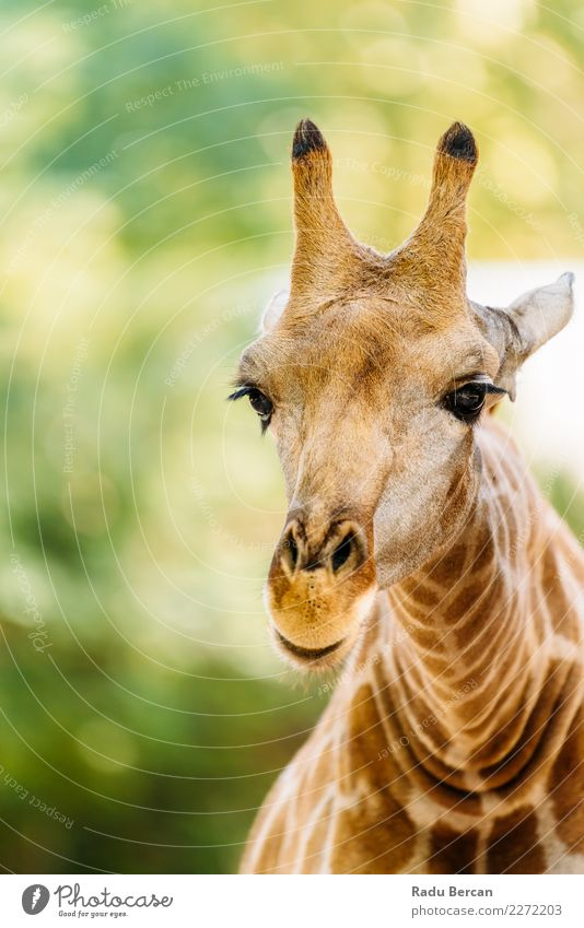 Wild African Giraffe Portrait Nature Summer Colour Green Animal Yellow Environment Funny Brown Orange Wild animal Adventure Beautiful weather Cute Long