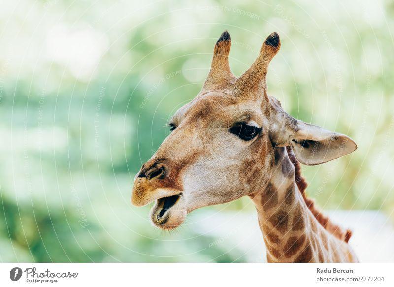 Wild African Giraffe Portrait Safari Nature Animal Summer Wild animal Animal face 1 Observe Vacation & Travel Long Funny Cute Brown Green Orange White Exotic