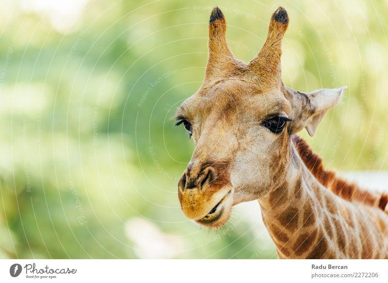 Wild African Giraffe Portrait Vacation & Travel Adventure Safari Environment Nature Animal Beautiful weather Wild animal Animal face 1 Looking Simple Long Funny