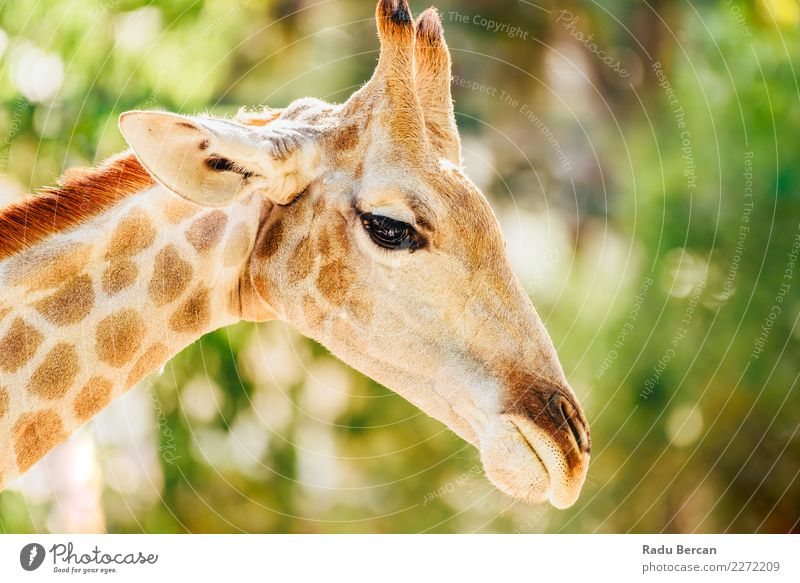 Wild African Giraffe Portrait Nature Summer Green White Animal Funny Brown Park Wild animal Beautiful weather Tall Cute Long Mammal