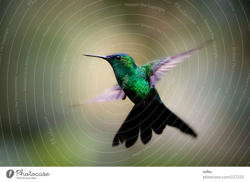 Nature Green Animal Bird Glittering Flying Wild animal Cute Wing Metal coil Hover Beak Brazil Judder Hummingbirds