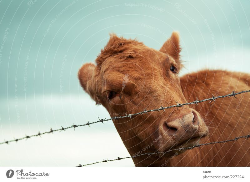 Sky Nature Animal Brown Natural Cute Animal face Curiosity Pelt Fence Cow Organic produce Food Organic farming Calf Farm animal