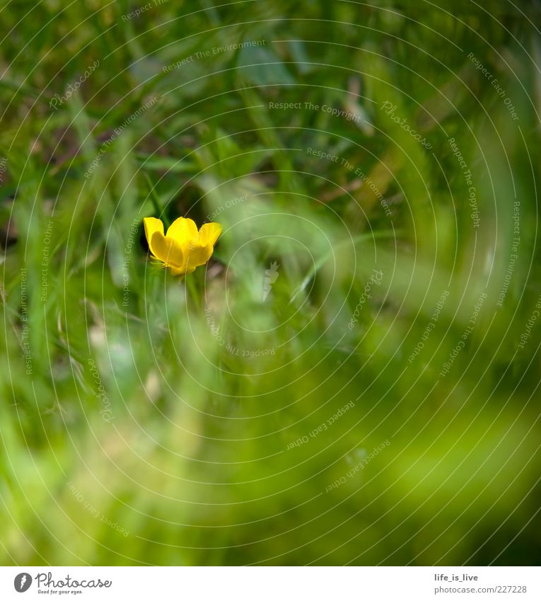 blossom_m_chen Grass Green Yellow Summer Fresh Juicy Spring Blur Blade of grass Blossoming Nature Crowfoot 1 Copy Space bottom Copy Space top Copy Space right