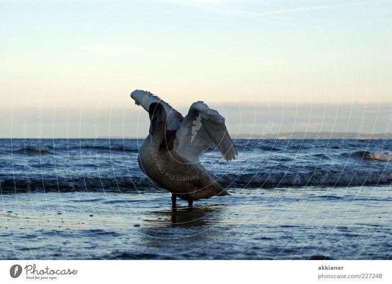 Nature Water White Beautiful Ocean Animal Environment Waves Bird Natural Feather Wing Baltic Sea Swan