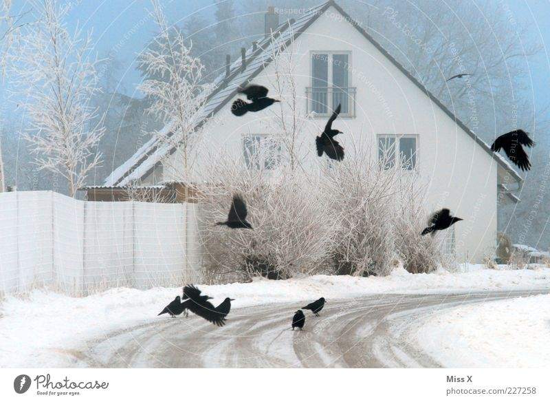 crows Animal Winter Bad weather Fog Ice Frost Snow Tree Bushes House (Residential Structure) Detached house Street Lanes & trails Wild animal Bird Wing Flock