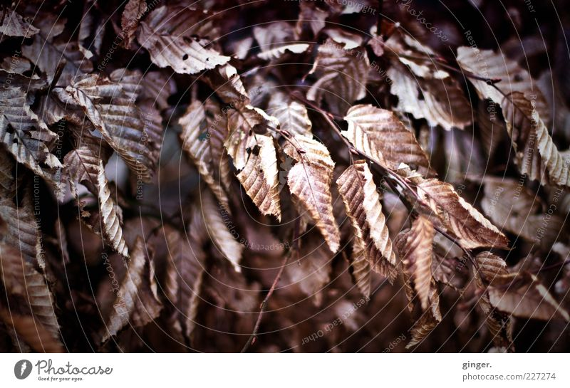 Nature Leaf Winter Environment Cold Brown Natural Climate Change Dry Twig To dry up Plant