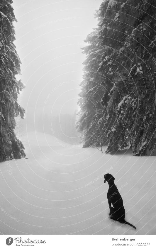 wanderlust Nature Winter Ice Frost Snow Tree Fir tree Forest Animal Pet Dog 1 Wait Black White Puppydog eyes Longing Patient Tails Loneliness Enchanted forest