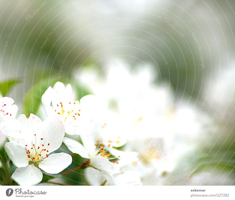Jump! Nature Plant Spring Blossom Blossoming Fragrance Esthetic Fresh Natural Beautiful Green White Spring fever Hope tree blossom Delicate Frame Colour photo