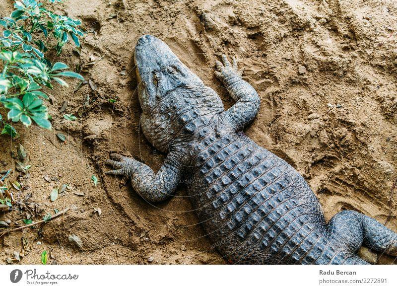 Alligator Top View Nature Animal Wild animal 1 Aggression Threat Dangerous Reptiles wildlife predator American Marsh head crocodile Tropical danger marine