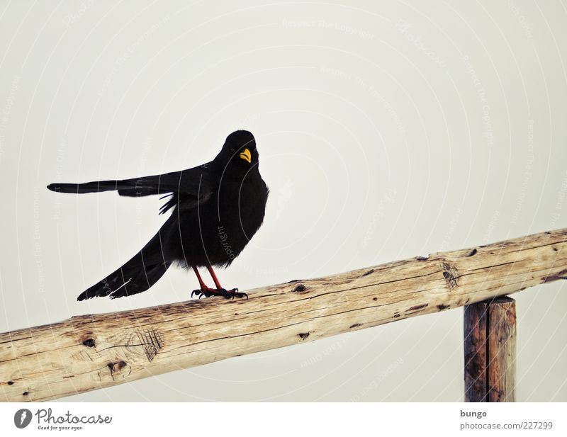Nature Animal Black Dark Wood Bird Sit Wait Feather Exceptional Wing Handrail Whimsical Indicate Beak Road marking