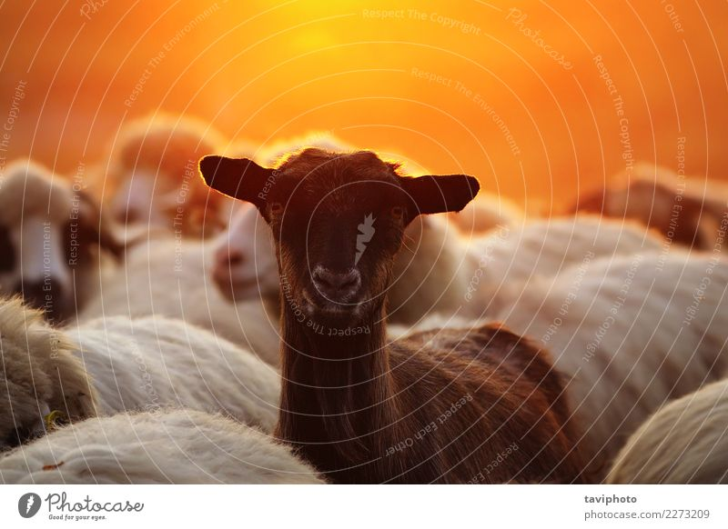 portrait of young goat amongst sheep herd Happy Beautiful Face Life Summer Nature Landscape Animal Meadow Herd Dark Together Funny Cute Yellow Green Red White