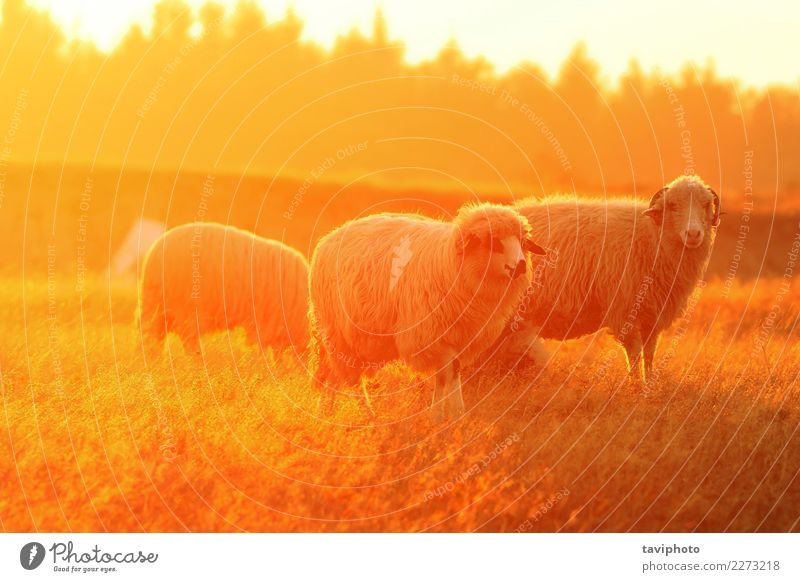 white sheep in orange colorful light Nature Colour Beautiful Green White Landscape Animal Environment Autumn Meadow Natural Vantage point Lawn Farm Pasture