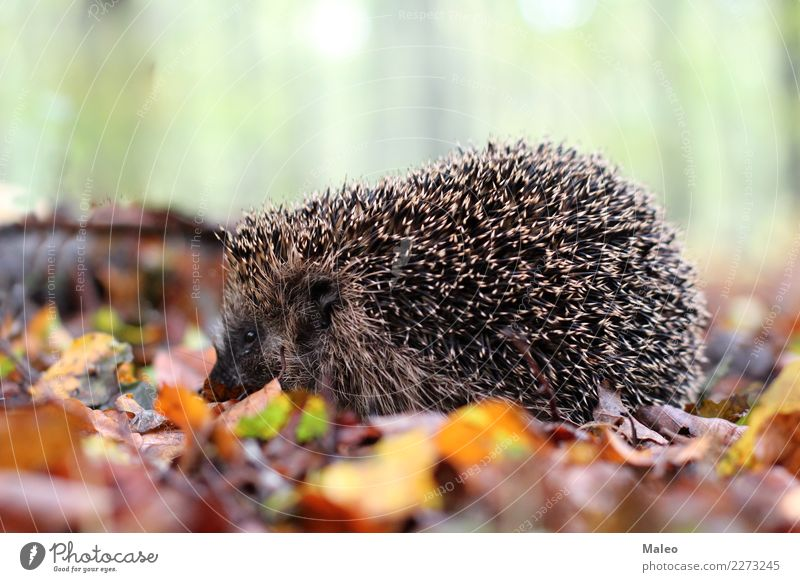 hedgehogs Nature Animal Forest Wild animal Animal face 1 Crawl Colour photo Exterior shot Day Shallow depth of field Hedgehog Leaf Autumn