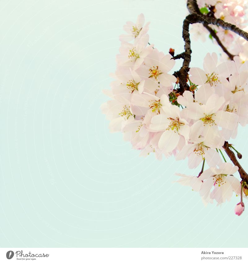 A hint of spring Nature Plant Sky Cloudless sky Spring Beautiful weather Blossom Cherry tree Cherry blossom Blossoming Growth Esthetic Bright Natural Blue Brown