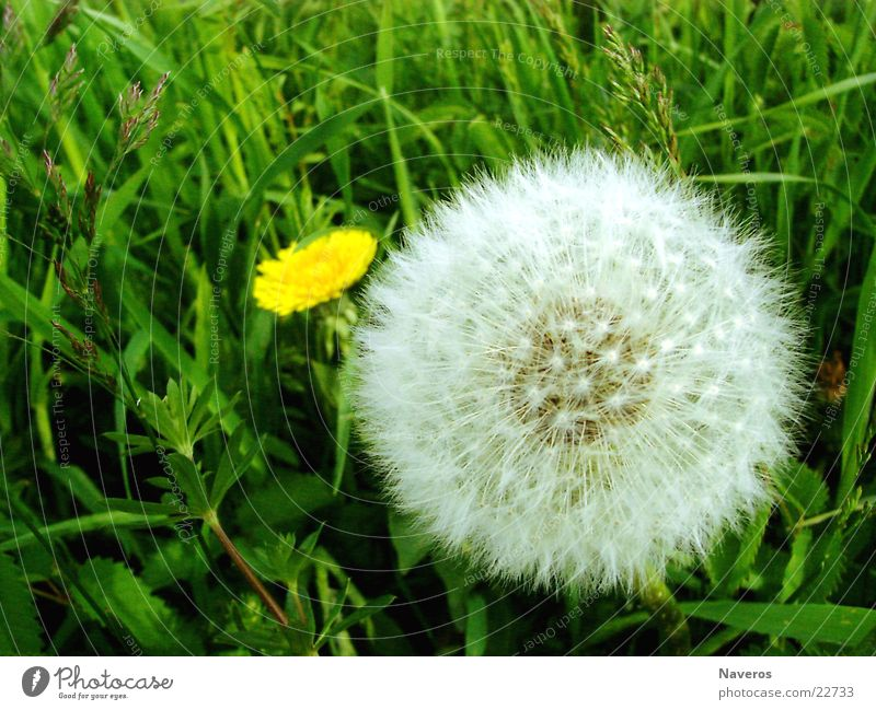 cuddly flower Nature Plant Spring Summer Flower Grass Blossom Wild plant Meadow Simple Fresh Beautiful Soft Yellow Green White Dandelion Flowering plant