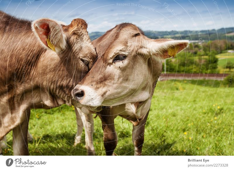 affection Summer Nature Landscape Field Farm animal Cow 2 Animal Pair of animals Communicate Love Friendliness Happy Natural Emotions Contentment