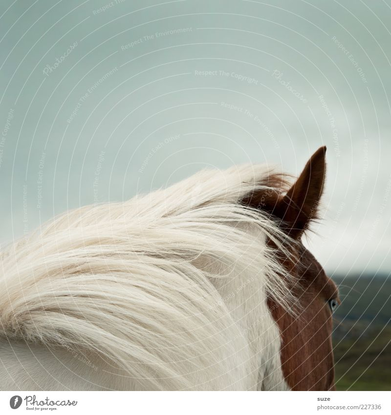 Sky White Animal Eyes Moody Brown Wind Esthetic Wild Natural Wild animal Horse Ear Iceland Watchfulness Pony