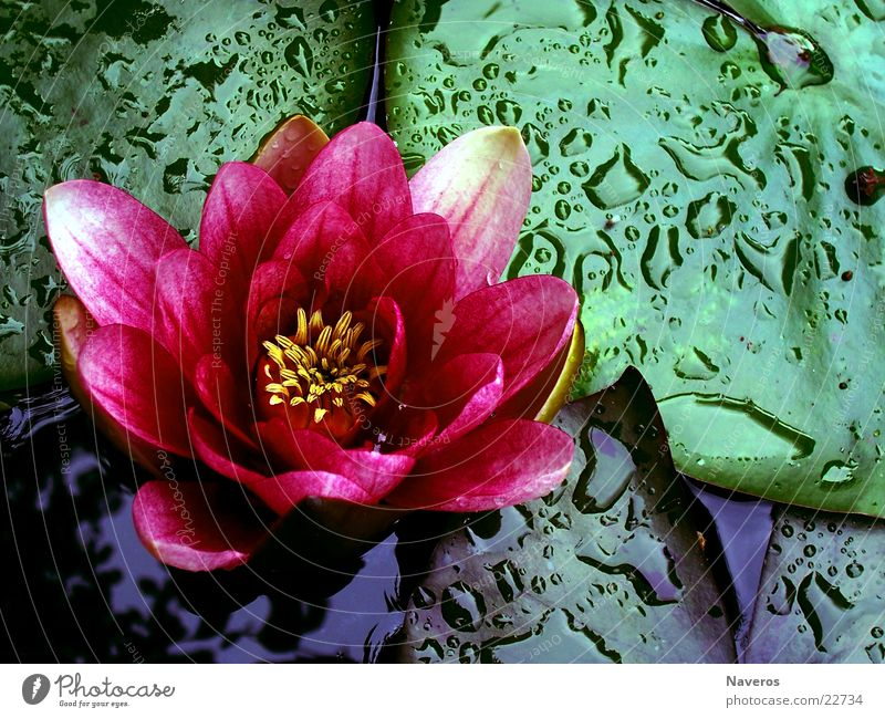 in full bloom Water lily Flower Blossom Rose Plant Lake Pond Drops of water