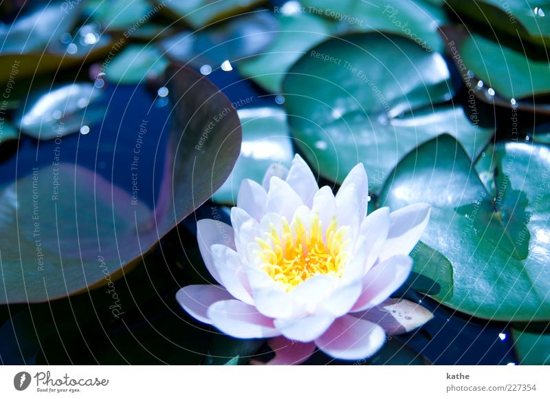 lotus effect Nature Plant Water Summer Flower Leaf Foliage plant Exotic Pond Lake Green Pink Beautiful Multicoloured Exterior shot Close-up Light Reflection