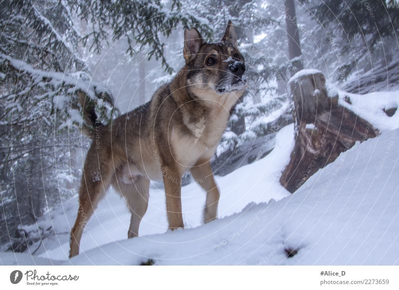 Nature Dog Landscape Tree Animal Winter Forest Environment Snow Going Wild Snowfall Fog Weather Ice Wild animal