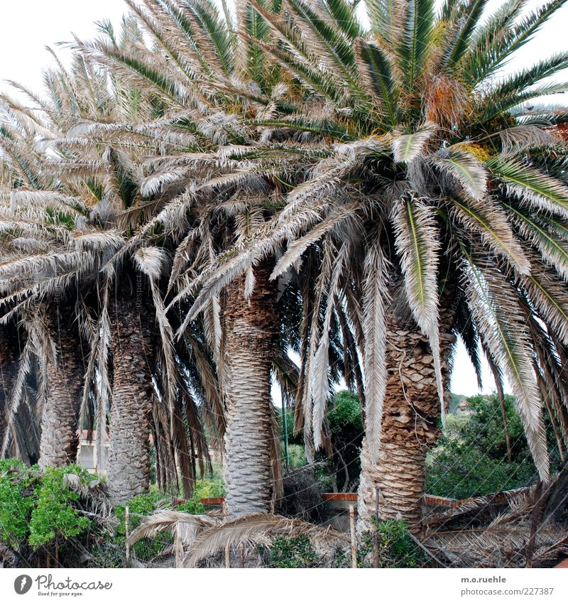 Nature Green Plant Environment Large Natural Row Palm tree Exotic Sardinia Palm frond Sequence Side by side