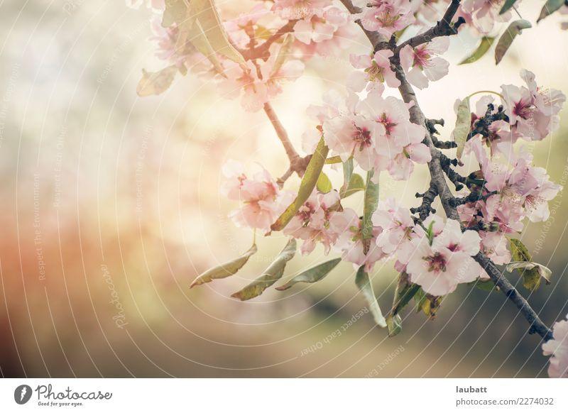 Almond flower blossom Environment Nature Plant Blossom Almond blossom Almond tree Cherry blossom Cherry tree Cherry Blossom Festival sakura hanami To enjoy