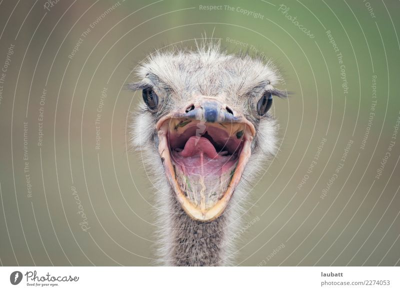 Say cheese! Nature Animal Africa African Desert Savannah Farm animal Wild animal Bird Animal face Zoo Ostrich Mouth Mouth open Smiling 1 Free Friendliness