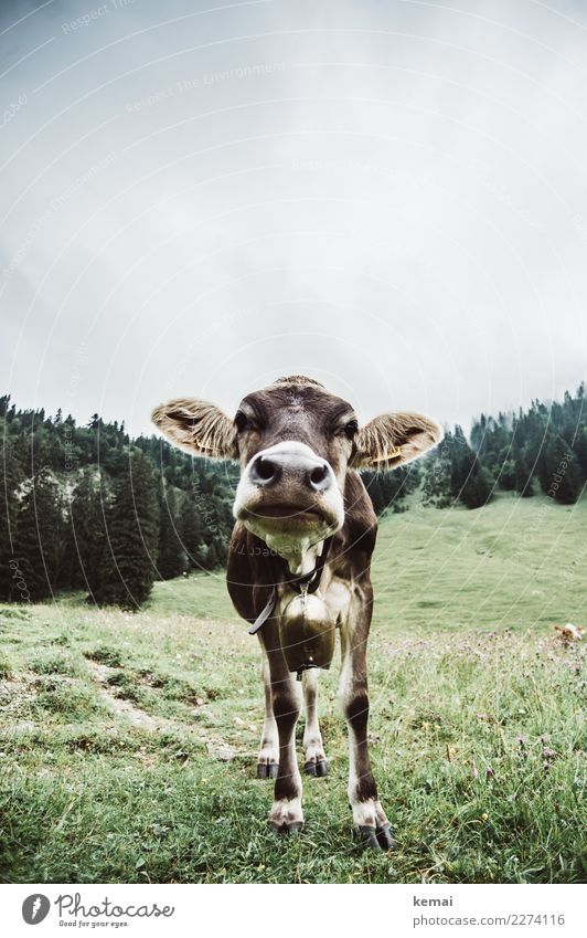 Hello, Mrs. Cow. Contentment Leisure and hobbies Trip Adventure Freedom Mountain Hiking Nature Landscape Sky Clouds Summer Weather Meadow Forest Hill