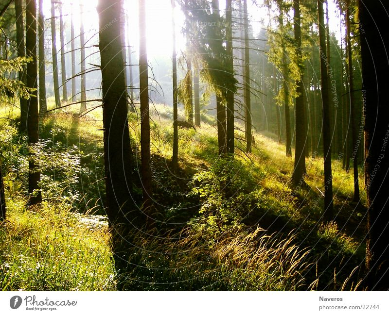 a morning in the woods Forest Tree Wood Morning Sunrise Coniferous trees Spruce Slope Back-light Mountain Nature solar rays Shadow